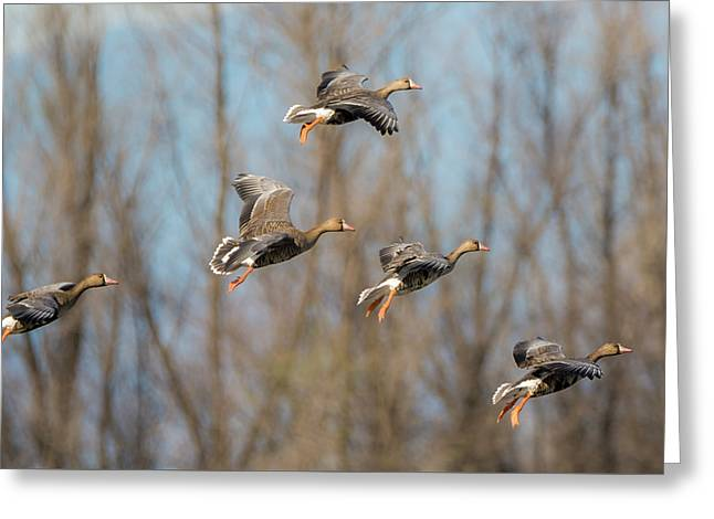 Incoming White-fronted Geese Greeting Card