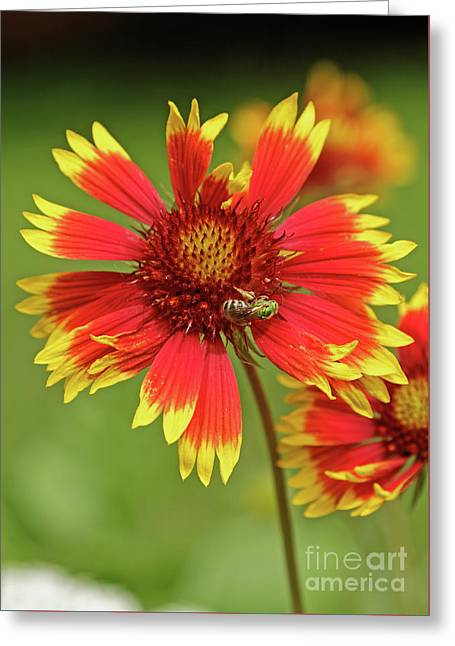 Indian Blanket And Metallic Green Bee Greeting Card