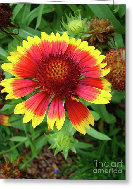 Indian Blanket Flower Greeting Card