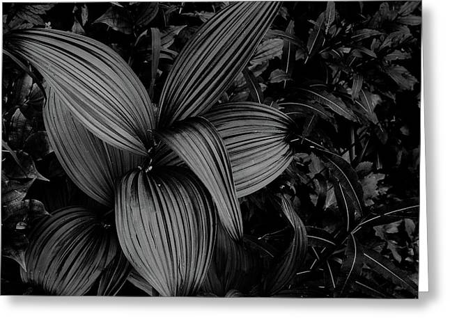 Greeting Card featuring the photograph Indian Hellebore 1 by Trever Miller
