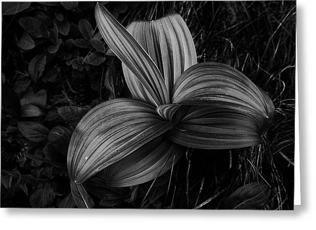Greeting Card featuring the photograph Indian Hellebore 2 by Trever Miller