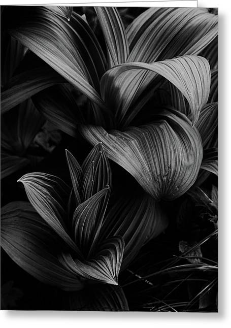Greeting Card featuring the photograph Indian Hellebore 4 by Trever Miller