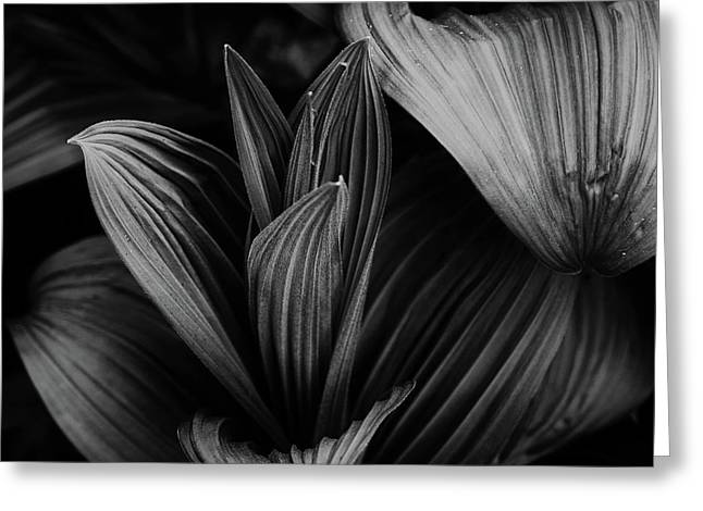 Greeting Card featuring the photograph Indian Hellebore 5 by Trever Miller