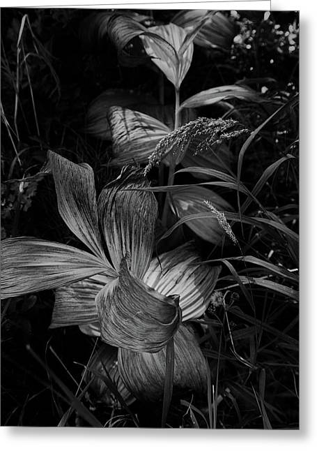 Greeting Card featuring the photograph Indian Hellebore 6 by Trever Miller