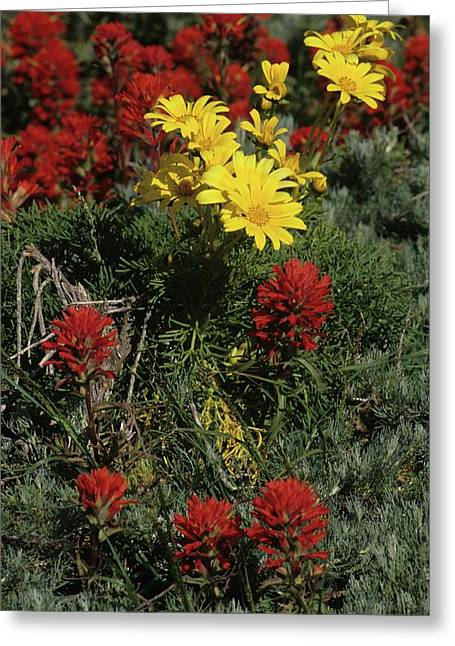 Indian Paintbrush And Sea Dahlia Blooming Greeting Card