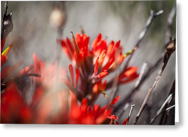 Indian Paintbrush Greeting Card by Del Duncan