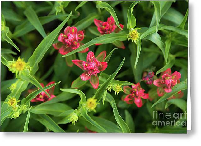 Indian Paintbrush Wildflowers Greeting Card by Mike Cavaroc