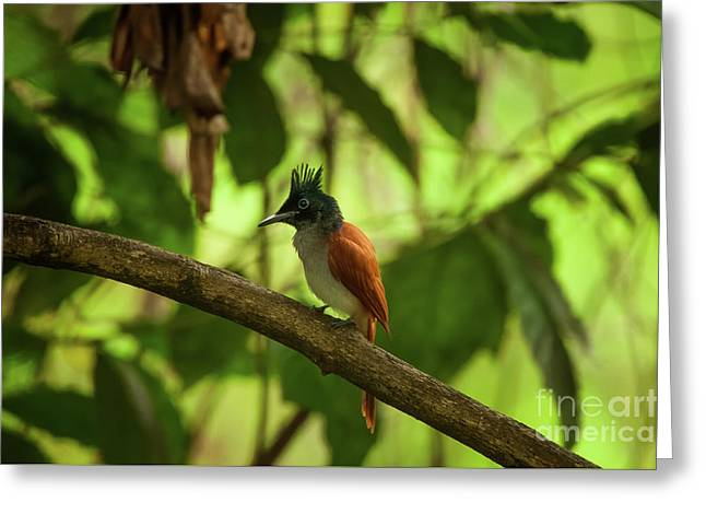 Indian Paradise Flycatcher Greeting Card