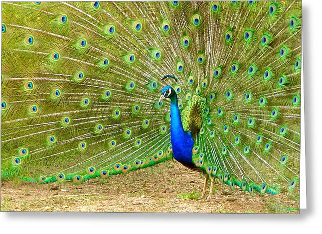 Indian Peacock Greeting Card