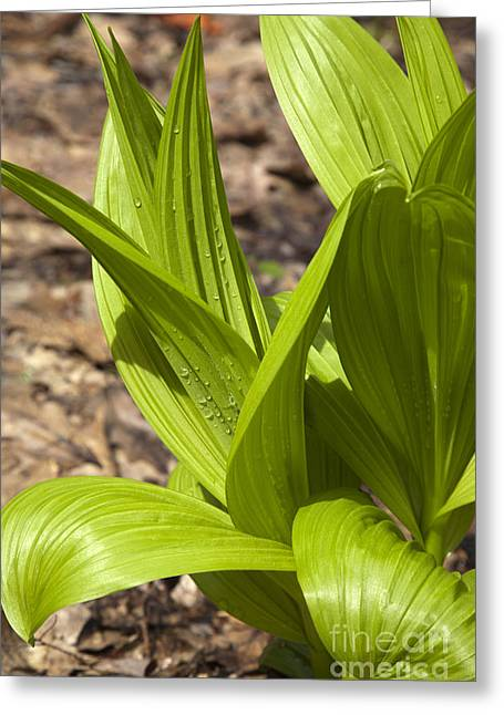 Indian Poke -veratrum Veride- Greeting Card