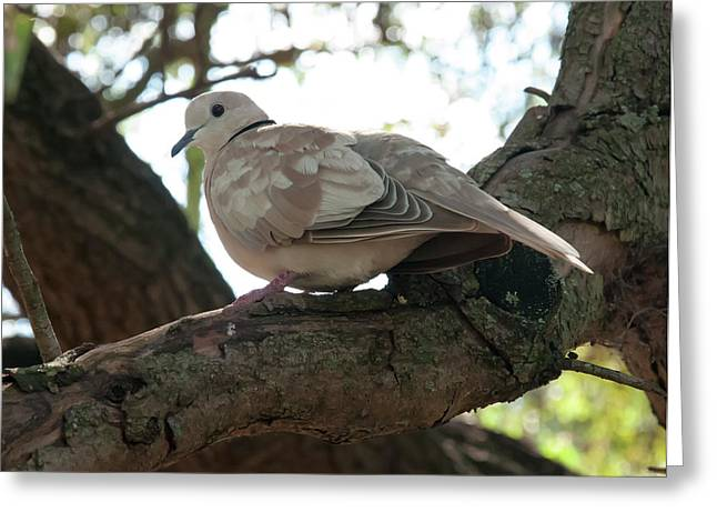 Greeting Card featuring the photograph Indian Ringneck Dove by Chris Flees