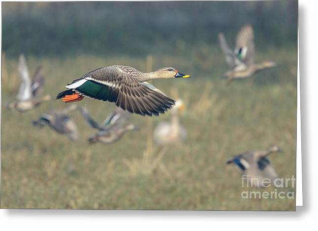 Indian Spot-billed Duck 01 Greeting Card