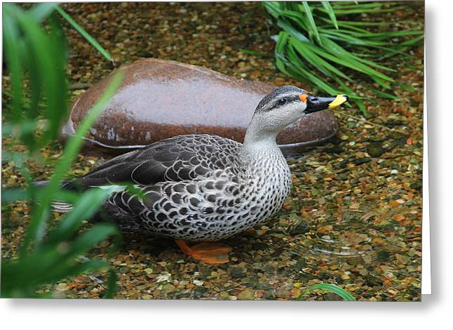 Indian Spot-billed Duck Greeting Card