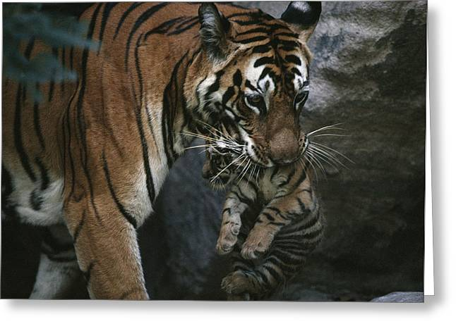 Tigress Greeting Cards - Indian Tigress, Sita, Moves Her Cubs Greeting Card by Michael Nichols