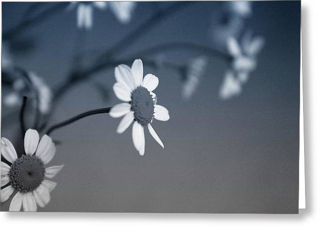 Indigo Daisies 1- Art By Linda Woods Greeting Card by Linda Woods