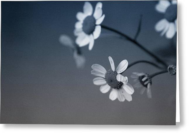 Indigo Daisies 2- Art By Linda Woods Greeting Card