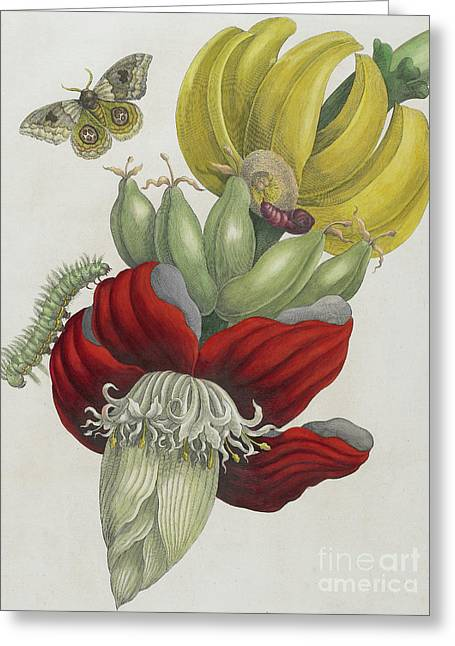 Inflorescence Of Banana, 1705 Greeting Card by Maria Sibylla Graff Merian