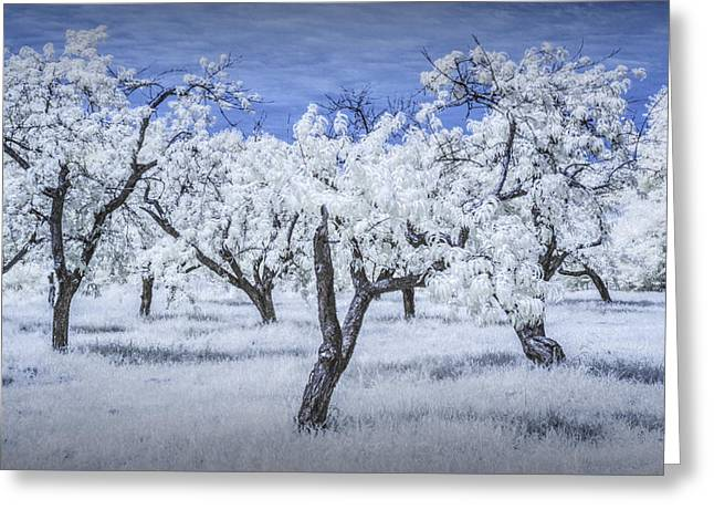 Infrared  Photograph Of A Cherry Orchard Greeting Card by Randall Nyhof