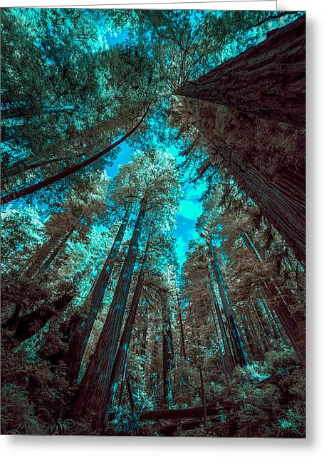 Infrared Redwood Greeting Card by Paul Freidlund