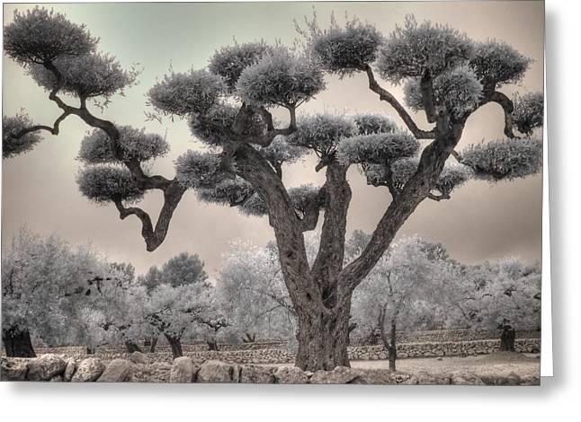 Infrared Spanish Olive Tree Bonsai Greeting Card