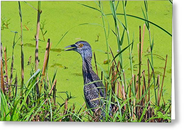 Inmature Black Crowned Heron. Greeting Card