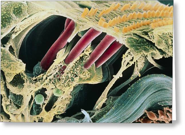 Scanning Electron Micrograph Greeting Cards - Inner Ear Organ Of Corti Greeting Card by Dr Goran Bredberg