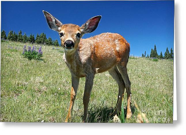Inquisitive Blacktail Fawn Greeting Card by Martin Konopacki