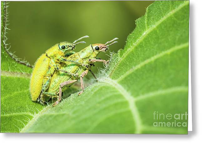 Greeting Card featuring the photograph Insect Mating by Tosporn Preede