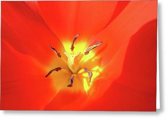 Inside Open Tulip Greeting Card by Richard Mitchell