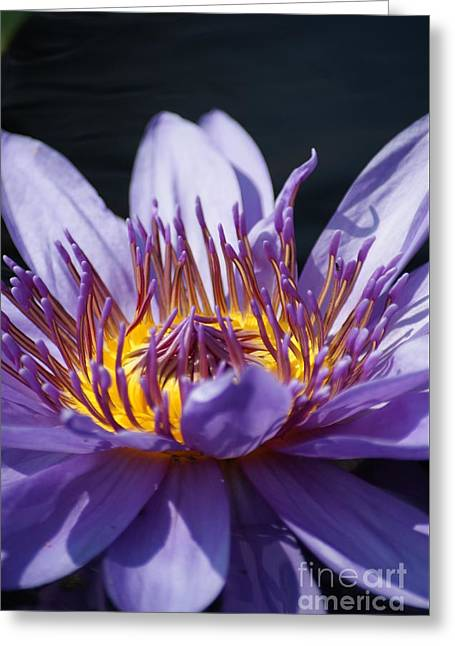 Intense Blue Water Lily   # Greeting Card