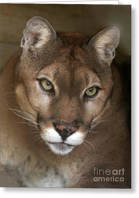 Intense Cougar Greeting Card