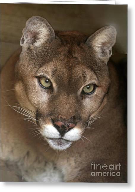 Intense Cougar Greeting Card