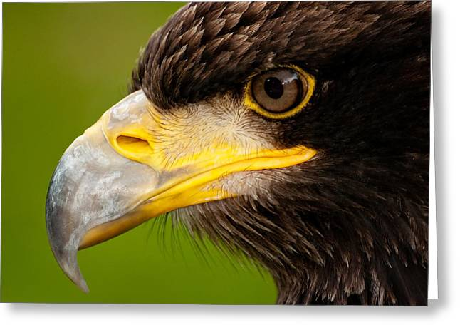 Intense Gaze Of A Golden Eagle Greeting Card