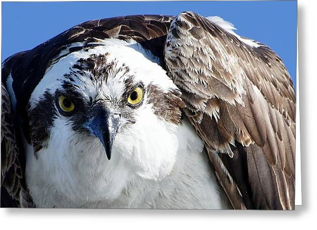 Intense - Osprey Greeting Card