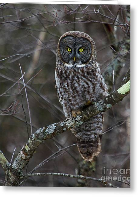 Intensity - Great Gray Owl Greeting Card by Lloyd Alexander