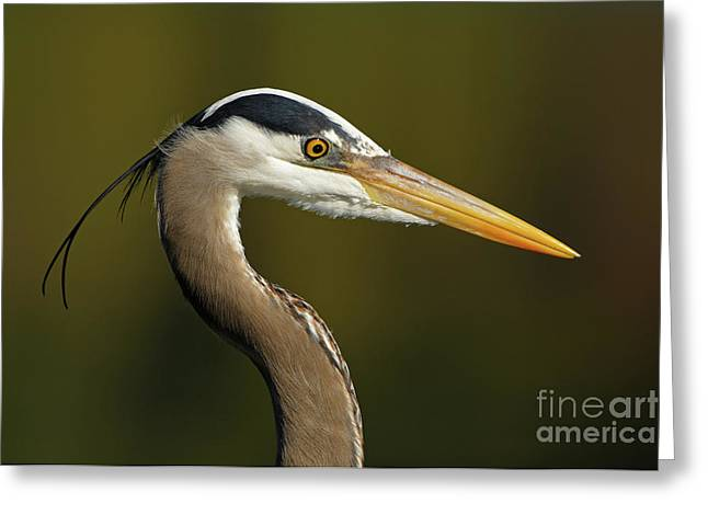 Intensity Of A Heron Greeting Card