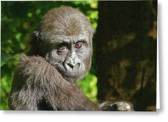 Intent Young Gorilla Greeting Card