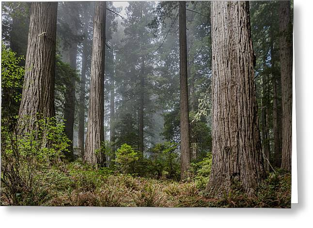 Into The Redwood Forest Greeting Card by Greg Nyquist