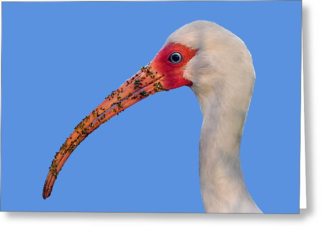 Greeting Card featuring the photograph Intriguing Ibis .png by Al Powell Photography USA