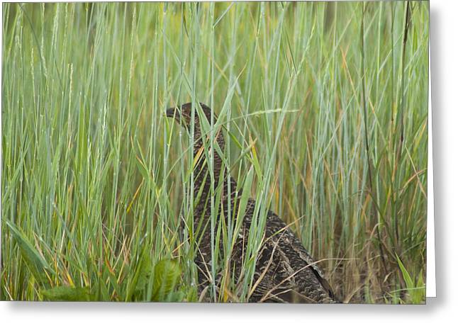 Greeting Card featuring the photograph Invisible Female Spruce Grouse by Daniel Hebard