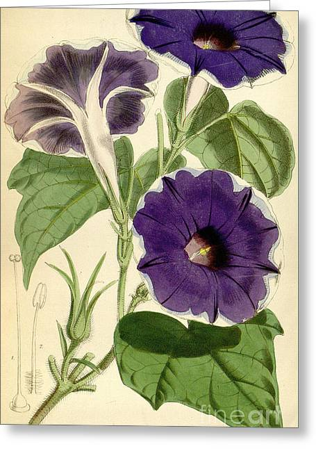 Ipomoea Nil Greeting Card by Joseph Dalton Hooker