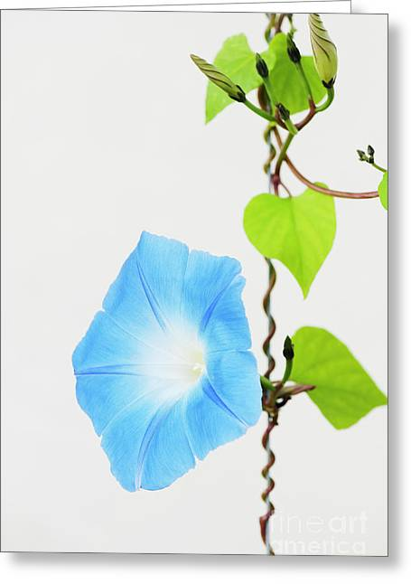 Ipomoea Tricolor Heavenly Blue Greeting Card by Tim Gainey