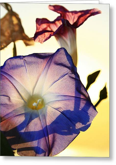 Ipomoea With Rising Sun Behind Greeting Card