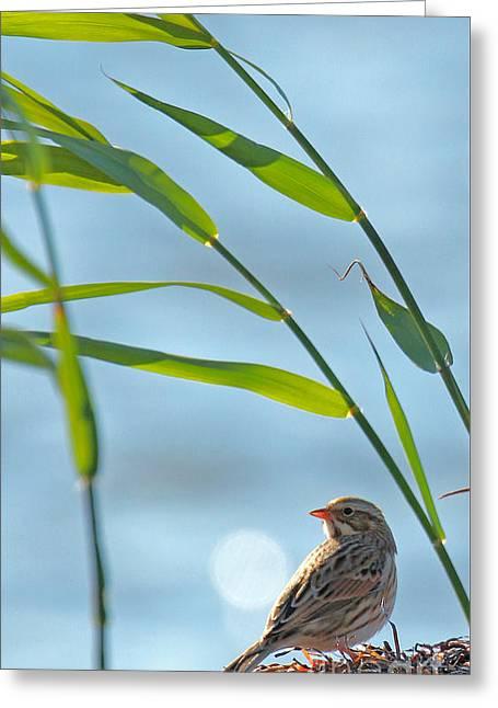 Ipswich Sparrow Greeting Card
