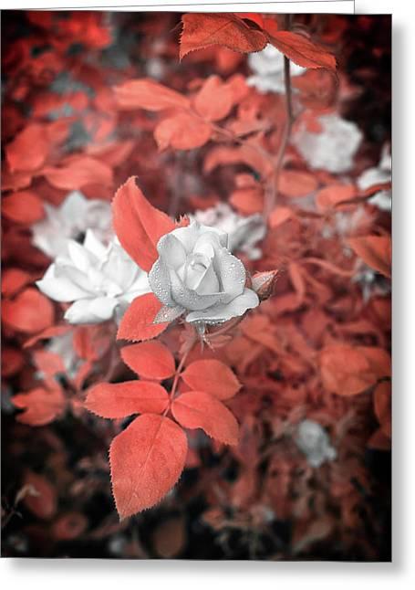 Ir Rose  Greeting Card by Paul Seymour