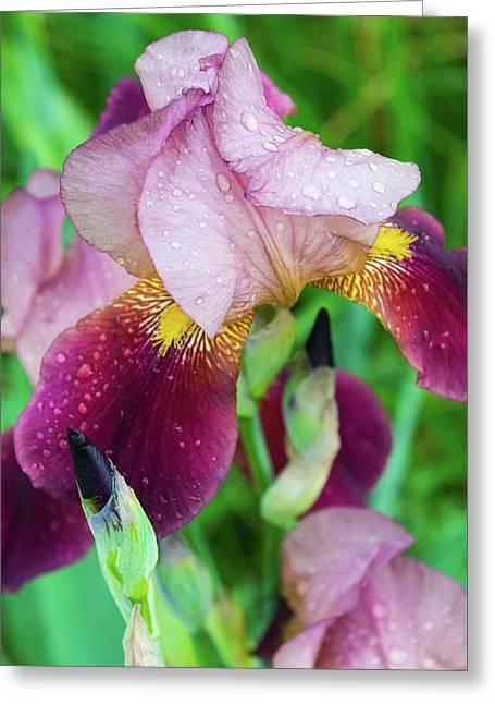 Iriis After Rain Greeting Card