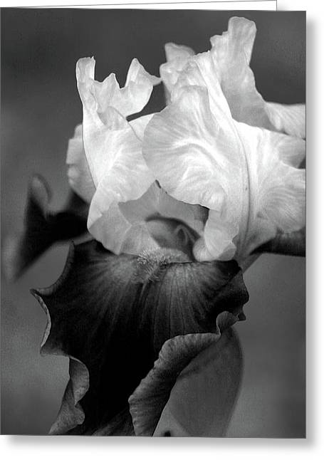 Iris 6621 H_5 Greeting Card