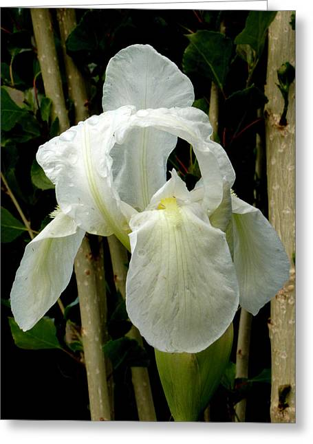Iris After The Storm Greeting Card