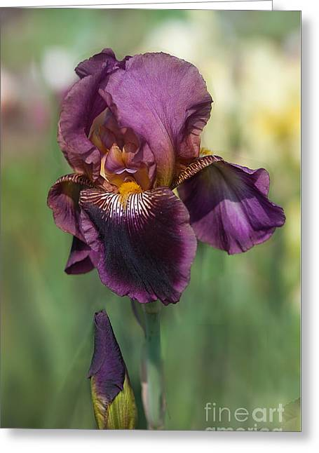 Iris 'black Ruby' Greeting Card