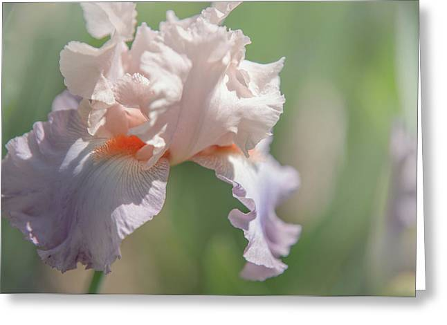 Iris Celebration Song 4. The Beauty Of Irises Greeting Card